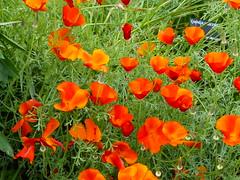California Poppy, P1020974 (LesD's pics) Tags: flowers blossom poppies blooms californiapoppy
