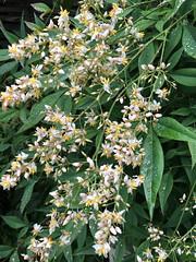 20160607garden001 (detsugu) Tags: garden 南天 heavenlybamboo ナンテン 20160607