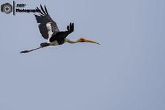 _DSC0786 (rvk82) Tags: 2016 birdsanctuary birds india july2016 nikkor200500mm nikon nikond500 photography pulicat pulicatbirdsanctuary pulicatlake rvk rvkphotography southindia tamilnadu wildlife karimanal andhrapradesh in rvkphotographycom