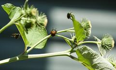 cool antennae! (Dotsy McCurly) Tags: cool bug japanese beetles iridescent metallic thistle nature beautiful nikon d750 closeup dof nj antennae