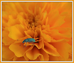 Bejewelled (Cindy's Here) Tags: flower canon bug insect bejewelled studio26toframeornottoframe