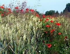 2016-07-07 aquarelle poppy field 2 (april-mo) Tags: poppy poppyfield redpoppy coquelicot redflower art flower fleurs field wheatfield champdebl
