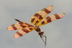 Halloween Pennant posing (tresed47) Tags: 2016 201607jul 20160701kerrparkinsects brandywinekardon canon7d chestercounty content dragonflies flowers folder halloweenpennant insects pennsylvania peterscamera petersphotos places takenby us ngc