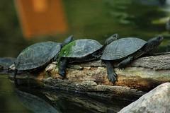 3 (Sarah.vc) Tags: lake nature water animal see tiere wasser outdoor natur schildkrte