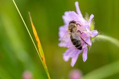 Beim Naschen an einer Acker-Witwenblume (magle.) Tags: canon nahlinse 250d ackerwitwenblume