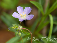 Wild Geranium (rellet17) Tags: flowers trees ohio wild green forest spring woods may geranium