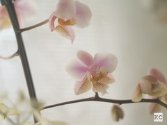 (thisiskris) Tags: orchids 18 olympusom mfourthirds50mm