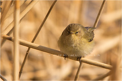 Willow warbler - Fitis (TenZ.NL (back again)) Tags: reed birds yellow waterfront little pentax wildlife vogels fellow staredown k5 inquisitive willowwarbler phylloscopustrochilus fitis sigma150500