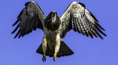 Time to land (begineerphotos) Tags: bird canon flying hawk flight alberta birdofprey vigilantphotographersunite vpu2 vpu3 vpu4