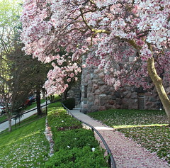 Magnolia Petal Path (marylea) Tags: pink flowers catholic michigan blossoms may annarbor magnolia catholicchurch blooms 2013 stthomasaa stthomastheapostlecatholicchurch