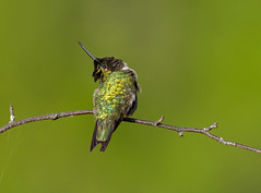 Emerald Arch (Bill McMullen) Tags: spring rubythroatedhummingbird billmcmullen canon7d