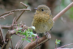 Baby robin (TonyKRO) Tags: robin birds garden chat quotbaby quoterithacus rubeculaquot robinquot
