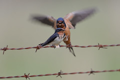 Barn Swallows-42593.jpg (Mully410 * Images) Tags: bird birds wire birding barbedwire swallow birdwatching birder barnswallows tcaap ahats tcaapwva