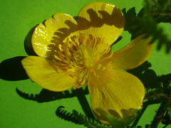 May2013 526 Buttercup, fern and shadow play (monica_meeneghan) Tags: flower spring shadows ngc coth macroelite flowersorinsectsmacro coth5 naturescarousel blinkagain frogpondflorals
