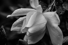 gardenia (Soggy6) Tags: blackandwhite bw white flower home wet rain yard garden droplets northcarolina gardenia wakeforest