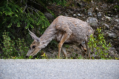 Jasper National park (segolenehumann) Tags: canada nationalpark jasper britishcolumbia bears alberta banff rockymountains malignelake yoho morainelake medicinelake setonlake louiselake colombiebritannique edithlake sherbrookelake
