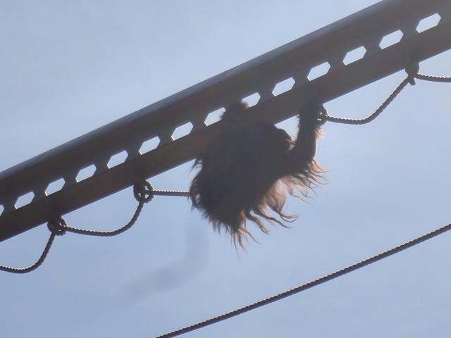 オランウータンの気分によっては、鉄塔を渡ってくれないことも。|旭川市旭山動物園
