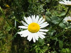 Anglų lietuvių žodynas. Žodis Daisy reiškia Deizė lietuviškai.