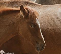 Colt. (AntonioArcos aka fotonstudio) Tags: horses nature ecology spain wildlife traditions lifestyle colt sustainability