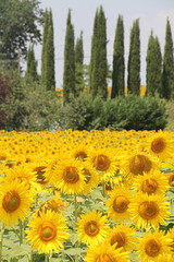 Tuscany countryside (lreed76) Tags: trees countryside sunflowers tuscany pienza juniper cretesenese