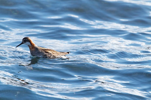 Red-necked Phalorope