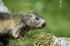IMG_9055 (mmariomm) Tags: pyrenees marmots marmotas artouste