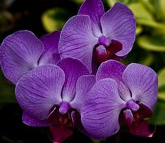Purple orchid (Rhoda Dendrum) Tags: flower wales flora nikon sigma105mm nikond90 nationabotanicalgardens