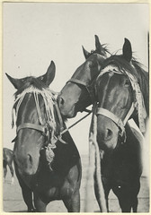 Faithful comrades (State Library of South Australia) Tags: horses worldwari ww1 statelibraryofsouthaustralia ourcontribution centenaryofanzac