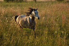Field of Gold (Leela Channer) Tags: sunset horse orange nature beauty field animal yellow mammal gold golden evening meadow free run seeds hour glowing grasses strength creature trot canter equine gallop equid