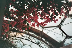 Pink Flower Fall... (imogencallaway) Tags: color colour film 35mm project lomo lca lomography cornwall edenproject 200iso eden staustell truprint
