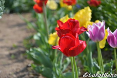 Red tulip (LukasBeno) Tags: park pink flowers blue red summer sky orange white plant abstract black flower holland color macro green nature floral beautiful beauty up field yellow closeup garden season outdoors leaf spring flora colorful day close tulips natural bright blossom outdoor decorative background group decoration romance fresh petal tulip bloom freshness