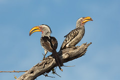 Flying Bananas (Wild Dogger) Tags: africa travel bird birds animals tiere wildlife urlaub ngc safari npc afrika botswana vgel vogel 2014 hornrabe tockusflavirostris kwando flyingbanana gelbschnabeltoko lebala t