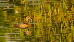 Lesser whistling Duck (Sulakna) Tags: nikon 80400mm d7000