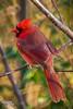 Male Cardinal (The Suss-Man (Mike)) Tags: bird nature animal georgia dof cardinal bokeh gainesville malecardinal hallcounty thesussman sonyalphadslra550 sussmanimaging