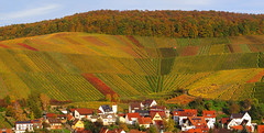 Vineyard Curve in Autumn (Batikart) Tags: road autumn trees red orange plants mountains green fall nature colors leaves lines yellow forest canon germany way landscape geotagged deutschland leaf vines europa europe seasons quilt stitch wine path stripes patterns hill felder tranquility aerialview powershot foliage growth vineyards grapes fields greenery patchwork curve multicolored ursula bltter grape variation colurful indiansummer wein weinberg sander g11 2014 vogelperspektive badenwrttemberg herbstfrbung strase 100faves 200faves weinstadt birdseyeperspective strmpfelbach 300faves 400faves batikart
