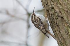 Gartenbaumläufer (Certhia brachydactyla) (Matthias.Kahrs) Tags: bird birds wildlife matthias vögel vogel kahrs gartenbaumläufer baumläufer