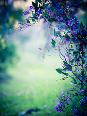 "native hardenbergia bokeh • <a style=""font-size:0.8em;"" href=""http://www.flickr.com/photos/44919156@N00/15719783186/"" target=""_blank"">View on Flickr</a>"