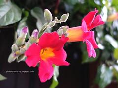 DSC00915_ed (SOBREVALORADO) Tags: flowers flores flower primavera colors garden spring flora plantas flor colores polen jardn ptalos paisajismo pistilos floracin