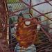 Caged Animal by Celimpilo Dlamini - SZL 1,800