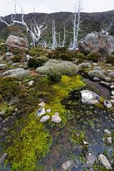 20141221-59-Moss on Tarn Shelf (Roger T Wong) Tags: green nature outdoors nationalpark moss walk hike np bushwalk canonef1740mmf4lusm tramp 2014 canon1740f4l subalpine mtfield mtfieldnationalpark tarnshelf canoneos6d rogertwong