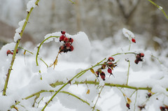 winters rose buds (SusanCK) Tags: snow landscape leavenworth susancksphoto
