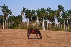 Camino hacia el valle y el rio Camajuaní, Cuba (lezumbalaberenjena) Tags: camajuani camajuaní villas villa clara cuba campo campiña guira crescentia cujete güira lezumbalaberenjena