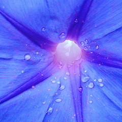 Morning Glory (PeterCH51) Tags: scotland edinburgh garden botanicalgarden botanicgarden royalbotanicgarden morningglory blue flower macro makro closeup water drops square squareformat peterch51 ipomoeapurpurea winde prunkwinde
