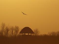 Marsh harrier over the Tower Hide (David R Owen) Tags: tower birds circus hide national trust marsh harrier wickenfen aeruginosus