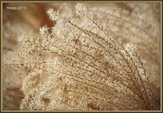 Golden (II) (gtncats) Tags: park nature outside outdoors golden holidays bokeh ornamentalgrass happynewyears ef70300mm canon70d photographyforrecreation happy2015