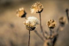 Winters grip (rg69olds) Tags: canon weeds nebraska omaha 6d canondigitalcamera canonef24105mmf4lisusm wehrspannlake wintersgrip canoneos6d 01172015