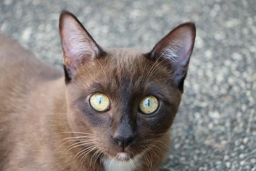 Hua Hin Cat