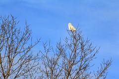 snowy owl near Lime Springs IA IMG_7636 (lreis_naturalist) Tags: county snowy reis iowa larry springs owl lime howar