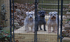 My Three Schnauzers (BKHagar *Kim*) Tags: girls dog pets white black dogs angel puppy miniature puppies chloe pup bestfriend bitches saltpepper sidi schnauzers bkhagar