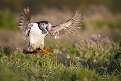 Puffin - Skomer Island Wales (iesphotography) Tags: nature wales photography wildlife puffin rspb skomerisland
